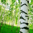Forest birch — Stock Photo #25939189