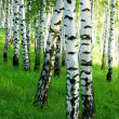 Forest birch — Stock Photo #26410603