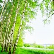 Forest birch — Stock Photo #26814393