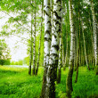 Forest birch — Stock Photo #26820385