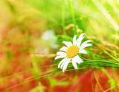 Spring daisy - Stock Image — Photo