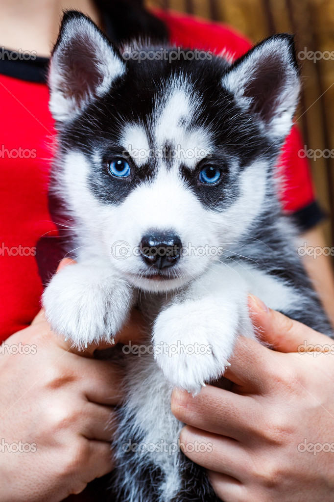 Pictures Of Husky Dogs With Blue Eyes