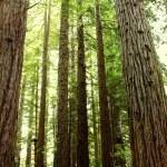 Redwood trees — Stock Photo #13266105