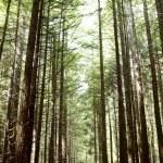 Redwood trees — Stock Photo #13266336
