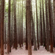 Redwood trees - Stock Photo
