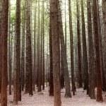 Redwood trees — Stock Photo #13266386