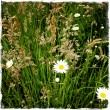 Daisies growing wild in field — Stock Photo
