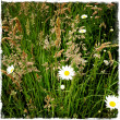 Stock Photo: Daisies growing wild in field