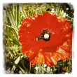 Stock Photo: Closeup of red poppy flower in garden