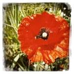 Closeup of red poppy flower in garden — Stock Photo
