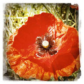Closeup of red poppy flower in garden — Stock Photo