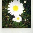 Daisies — Stock Photo