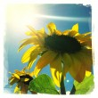 Sunflowers — Stock Photo #20535411