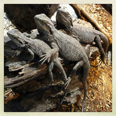 Lizards — Stock Photo