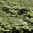 Fern trees — Foto de Stock