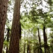 Stock Photo: Redwood trees