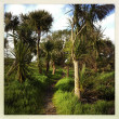 Stock Photo: Cabbage trees