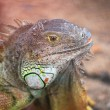 Injured Iguana — Stock Photo
