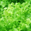 Hydroponic Lettuce — Stock Photo #32450357