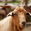 Unhappy Sick Goat — Stock Photo
