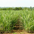 Sugarcane Field — Stock Photo