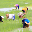 Stock Photo: Thai Rice Farmer