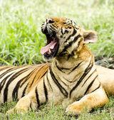 Roar Large Tiger — Stock Photo