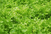 Beautiful Lettuce Outdoor — Stock Photo
