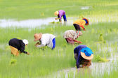 Thai Rice Farmer — Stock Photo