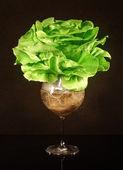 Butter Head hydroponic salad — Stockfoto