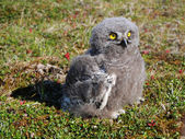Snowy owl chick (Bubo scandiacus) — Stock Photo