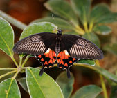 Scarlet Mormon — Stock Photo