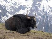 Lying yak — Stock Photo