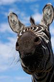 Zebras skägg — Stockfoto
