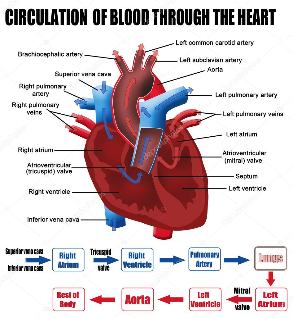 Blood flow through heart craftbrewswagfo circulation of blood through the heart diagram citybeauty sphenoid pooptronica Choice Image