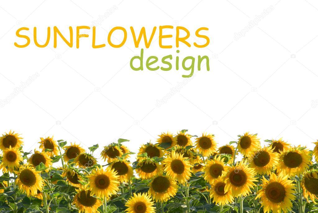 Sunflower Frame Sunflower Frame on White