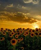 Zonsondergang over zonnebloemen veld — Stockfoto