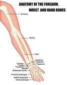 Anatomía de los huesos del antebrazo, muñeca y mano — Vector de stock