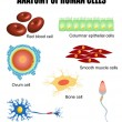 Anatomy of human cells - Stock vektor