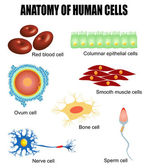 Anatomy of human cells — Stock Vector
