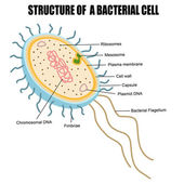 Structure of a bacterial cell — Stock Vector
