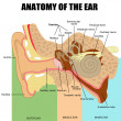 Anatomy of the human ear - Stok Vektr