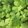 Three leaf clovers — Stock Photo