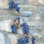 Black grapes on stone wall — Stock Photo