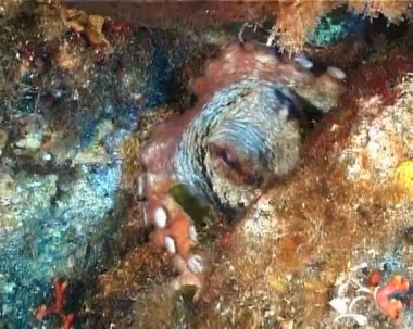 Octopus — Stock Video