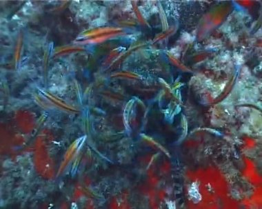 (Thalassoma Pavo) — Stock Video