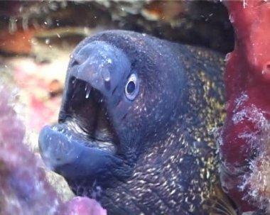 Moray Eel — Stock Video