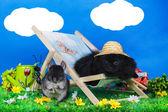 Black pomeranian and chinchilla on relax — Stock Photo