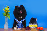Pomeranian and chinchilla dines at the table — Stock Photo