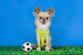 Chihuahua playing football — Stock Photo